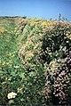 Cornish hedgerow - geograph.org.uk - 290314.jpg