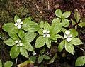 Cornus canadensis (Mount Cho s2).JPG