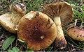 Cortinarius aurilicis Chevassut & Trescol 67954.jpg