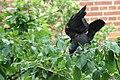 Corvus monedula -Netherlands-8 (1).jpg