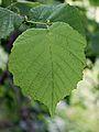 Corylus avellana 0009.jpg