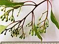 Corymbia ficifolia - buds.jpg