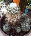 Coryphantha cornifera 1e.jpg