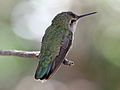 Costas Hummingbird female RWD.jpg