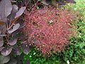 Cotinus coggyria.jpg