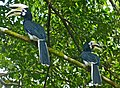 Couple of Oriental Pied Hornbills (Anthracoceros albirostris)(male left) (8070730765).jpg