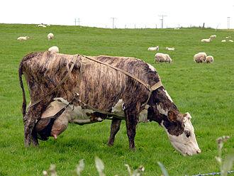 Brindle - A brindled cow