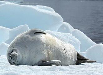 Crabeater seal - Image: Crabeater Seal in Pléneau Bay, Antarctica (6059168728)