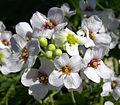 Crambe maritima flowers 062811.jpg