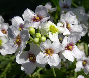 Crambe maritima - Crambe maritima flowers; Saaremaa, Estonia