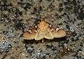 Crambidae (24596095922).jpg