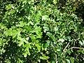 Crataegus monogyna (subsp. monogyna) + Crataegus laevigata (subsp. laevigata) sl2.jpg