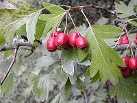 Crataegus monogyna fruits.jpg