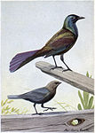 Creaker the Purple Grackle, The Male Cowbird.jpg