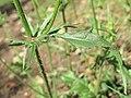 Crepis setosa leaf (04).jpg