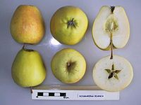 Cross section of Rosmarina Bianca, National Fruit Collection (acc. 1951-197).jpg
