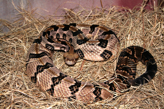 http://upload.wikimedia.org/wikipedia/commons/thumb/0/00/Crotalus_horridus_CDC.png/320px-Crotalus_horridus_CDC.png