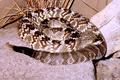 Crotalus molossus molossus CDC.png