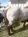 Croupe d'un cheval breton aubère.jpg