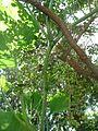 "Cucurbita argyrosperma ""calabaza rayada o cordobesa"" tallo bandas longitudinales pecíolo bandas yema floral F01 abortada.JPG"