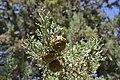 Cupressus nevadensis Hobo Ridge Grove (12) - Flickr - theforestprimeval.jpg