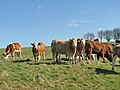 Curious heifers - geograph.org.uk - 724662.jpg