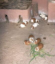 Cavia Porcellus Wikip 233 Dia