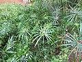 Cyperus alternifolius - Umbrella Palm at Wayanad (1).jpg
