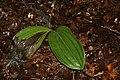 Cypripedium acaule 25zz.jpg