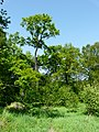 Dąb przypominający drzewo w buszu. - panoramio.jpg