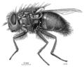 DIPT Calliphoridae Calliphora quadrimaculata f2.png