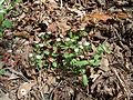 DO - Great Chickweed or Star Chickweed 4-24-04 (4071735793).jpg