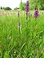 Dactylorhiza fuchsii 31.jpg