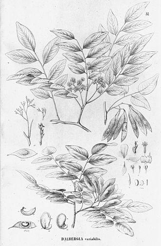Dalbergia frutescens - Image: Dalbergia frutescens
