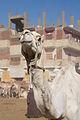 Daraw Camel Market (4).jpg