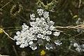 Daucus carota-4325.jpg