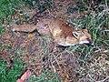 Dead fox - geograph.org.uk - 643032.jpg