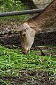 Deer in Pokazowa Zagroda Żubrów w Pszczynie (4600355003).jpg