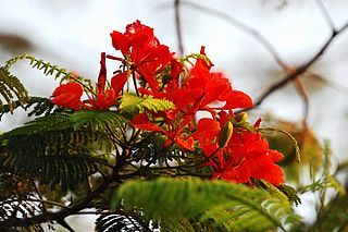 <i>Delonix</i> Genus of flowering plants in the bean family Fabaceae