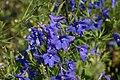 Delphinium grandiflorum Dwarf Blue Butterfly 5zz.jpg