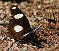 Denaid Eggfly (Hypolimnas misippus) in Kawal, AP W IMG 1796.jpg