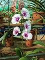 Dendrobium cultivar 91.jpg