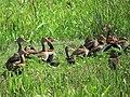 Dendrocygna autumnalis Pisingo Black-bellied Whistling-Duck (6545712545).jpg