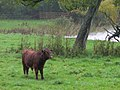 Dexter Cow by the Lake, Hatchlands Park - geograph.org.uk - 264872.jpg