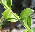 Dianthus japonicus (leaf).jpg