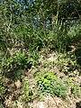 Dictamnus albus + Euphorbia polychroma sl1.jpg