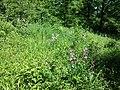 Dictamnus albus sl48.jpg