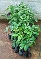Diospyros crumenata.jpg