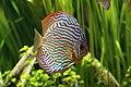 Discus aquarium tropical porte dorée - 001.JPG