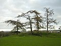 Distorted Conifers - geograph.org.uk - 289460.jpg